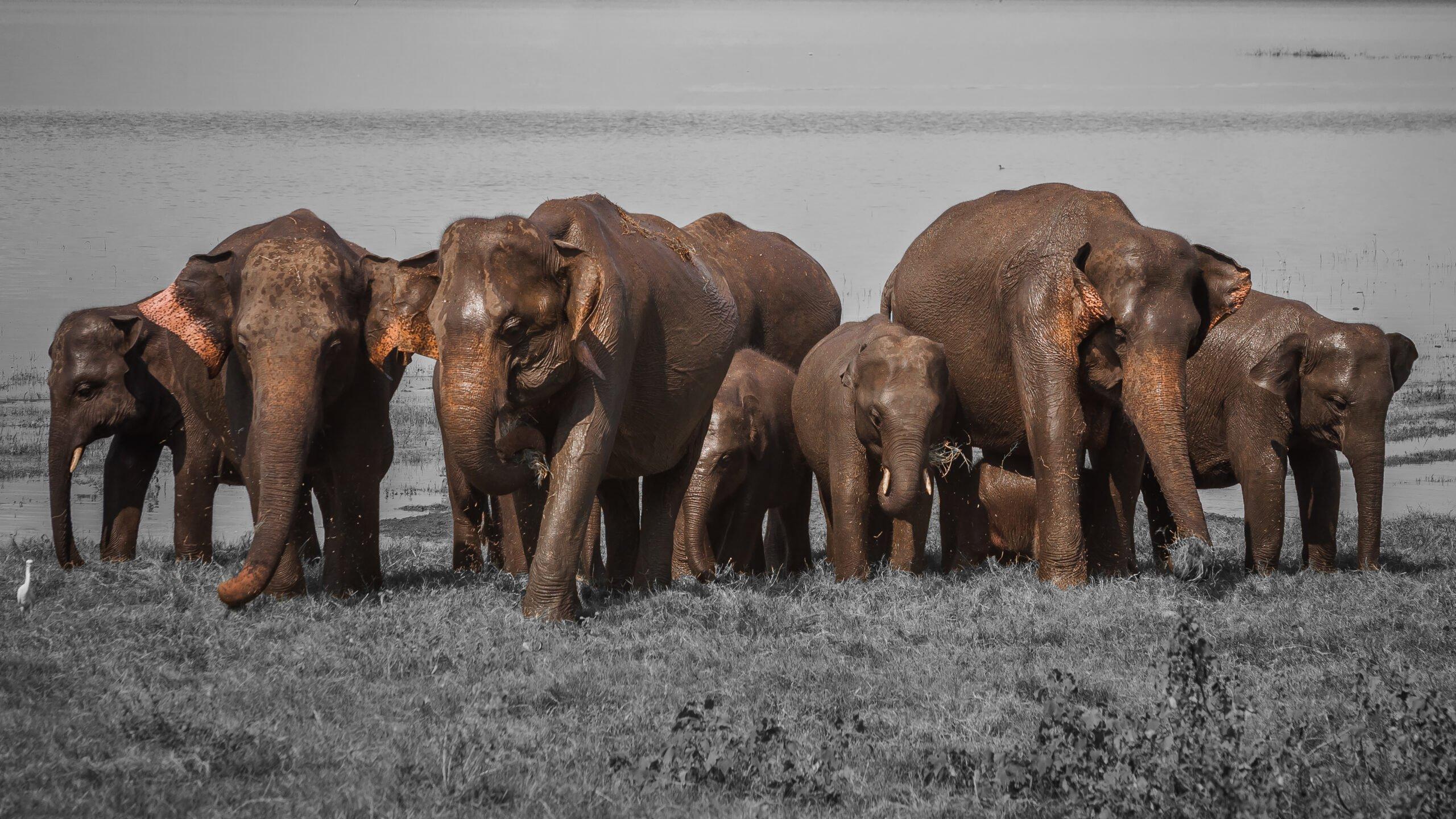 Sri Lanka, Olifanten
